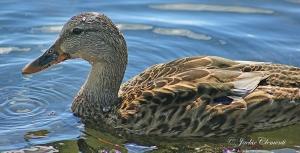 IMG_2032 duck close