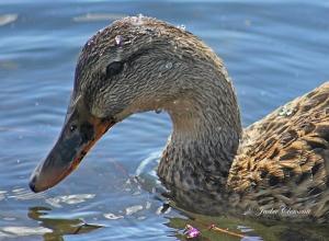 IMG_2033 duck close