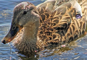 IMG_2043 duck close