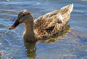 IMG_2046 duck