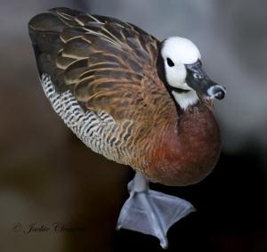 IMG_2159 duck