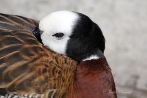 IMG_2175 duck