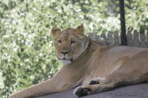 IMG_2224 lion