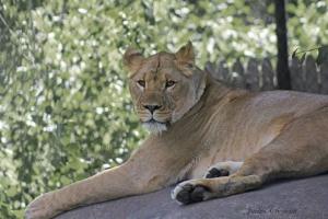 IMG_2228 lion
