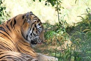 IMG_2283 tiger
