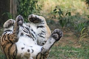 IMG_2289 tiger rolling