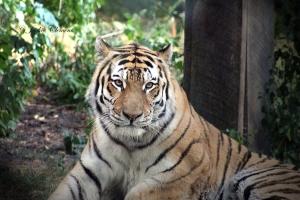 IMG_2294 tiger