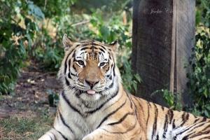 IMG_2295 tiger