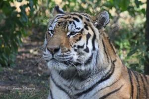 IMG_2299 tiger
