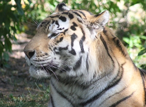 IMG_2303 tiger
