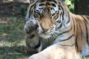 IMG_2354 tiger