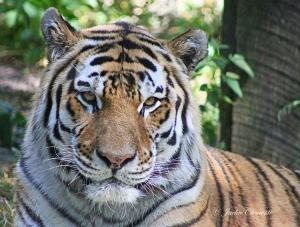 IMG_2362 tiger close