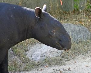 IMG_2384 tapir