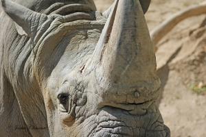IMG_2390 rhino close