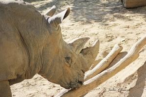 IMG_2394 rhino