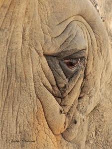 IMG_2396 rhino eye