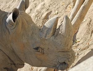 IMG_2405 rhino