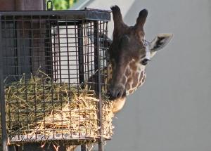 IMG_2436 giraffe
