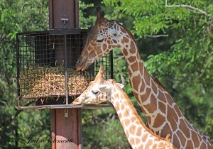 IMG_2439 giraffe