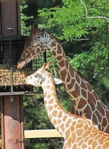 IMG_2441 giraffe