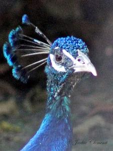 IMG_2449 peacock