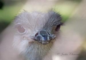 IMG_2453 ostrich