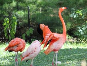 IMG_2525 flamingo