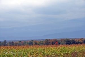 IMG_2269 cornfield
