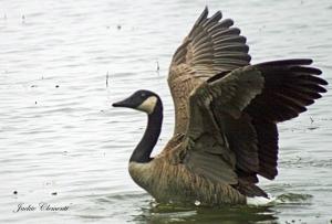 IMG_2402 goose landing