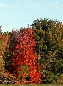 IMG_2669 red tree
