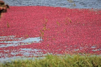 IMG_4980 cranberries