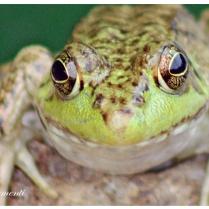 IMG_9624 frog