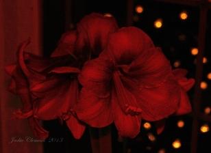 IMG_9245 amarylis dark