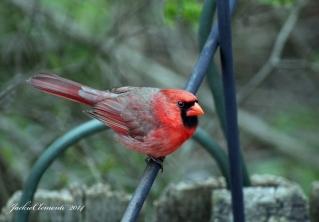 IMG_4897 s cardinal