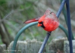 IMG_4899 s cardinal