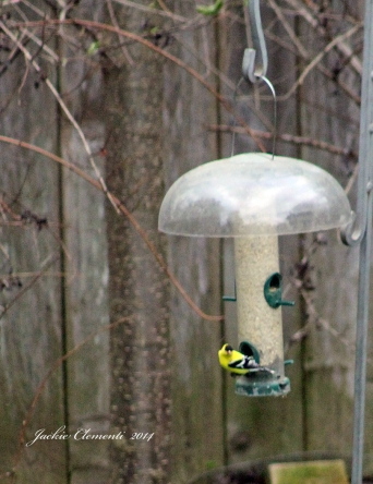 Posing Goldfinch