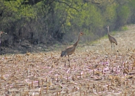 Crane dining in the cornfield