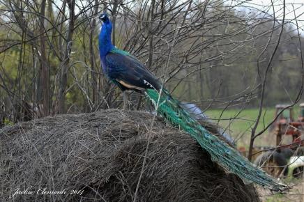 IMG_5041 s peacock