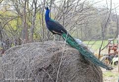 IMG_5042 peacock