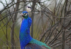 IMG_5046 peacock