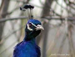 IMG_5047 peacock