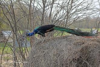IMG_5064 peacock