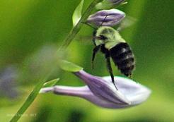 IMG_0241 bee