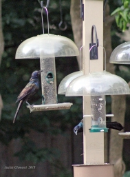 male grackles 2