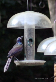 male grackles 3