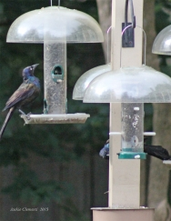 male grackles