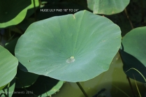 IMG_3812 huge lily pad