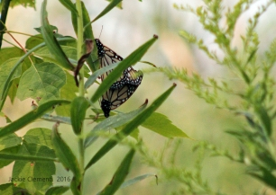 IMG_4078 mating butterflys