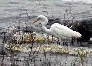 egret-or-white-heron