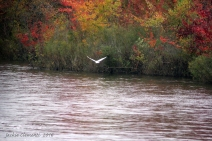 img_5300-s-color-river-egret